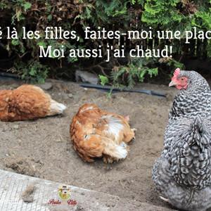 Pourquoi les poules sont-elles si sensibles à la chaleur et résistantes aux froids?