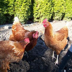 Les besoins des poules pondeuses