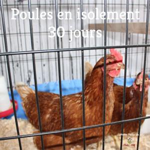 Comment intégrer de nouvelles poules à un cheptel existant?