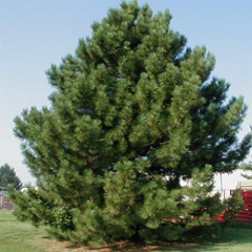 austrian-pine-poul's-landscaping-&-nursery