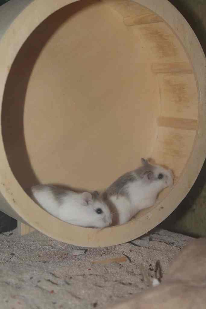 couple Hamster roborovski rongeur