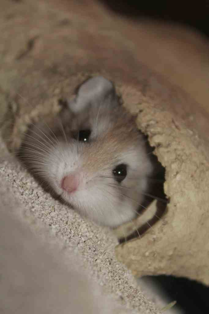 Visage mignon hamster roborovski dans un trou