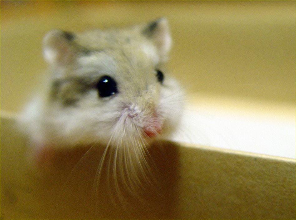 Hamster sympa roborovski visage