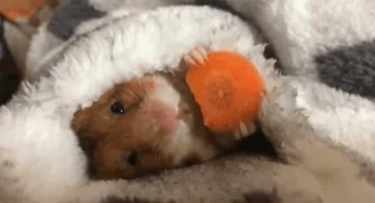 hamster avec carrote dort