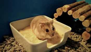 hamster se gratte