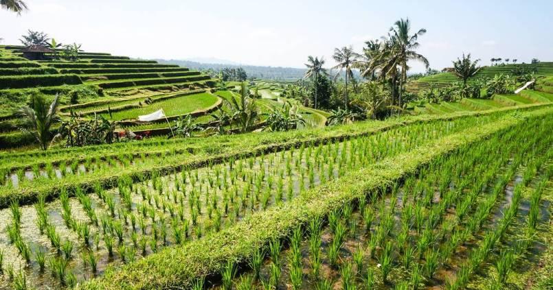 Première vue des rizières de Bali. 1