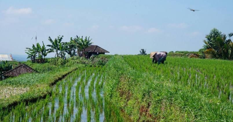 Nos premières rizières Indonésienne, et c'est pas fini ! 1