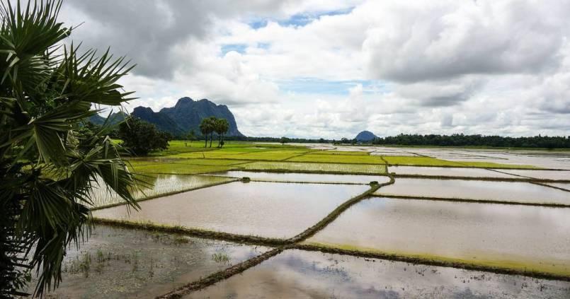 Des rizières inondées à perte de vue. 1