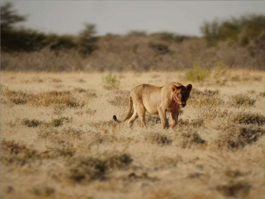 Safari au parc national d'Etosha en Namibie 11