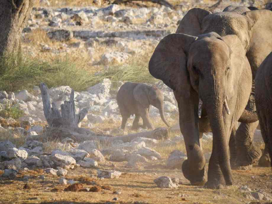 Safari au parc national d'Etosha en Namibie 15