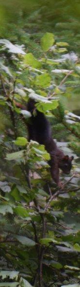 Écureuil descendant nonchalement