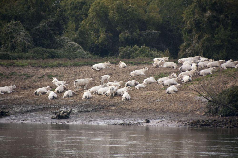 Paisible Loire - vaches au bord de l'eau