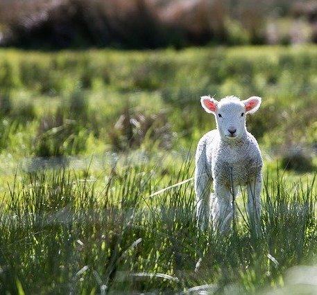 vente directe agneau le puy en velay ne haute loire 43
