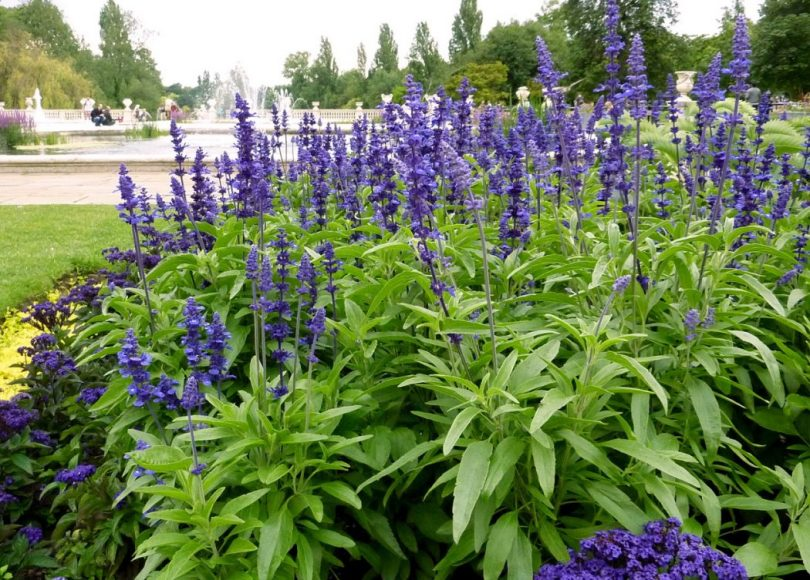 Blue-sage Top 10 Flowers That Bloom all Year
