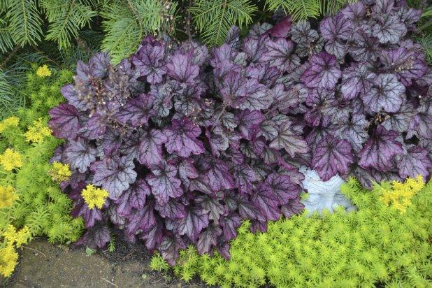 heuchera_blackberry_ice_landscape Top 10 Flowers That Bloom all Year