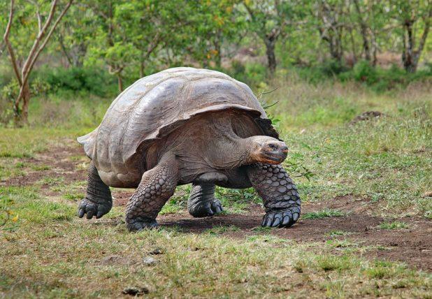 Giant-Tortoise-Santa-Cruz 10 Animals That Outlive People