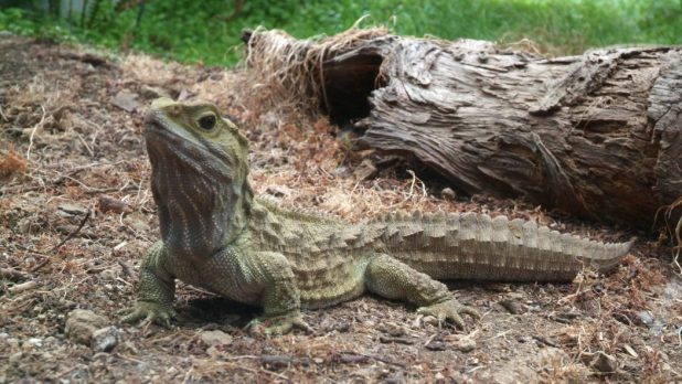 Great-Tuatara-Pic 10 Animals That Outlive People