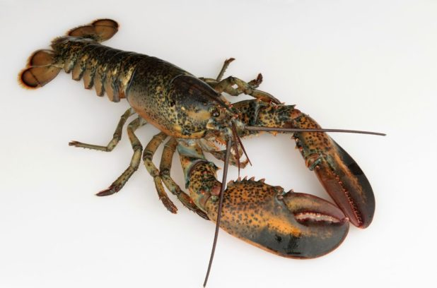 lobster 10 Animals That Outlive People