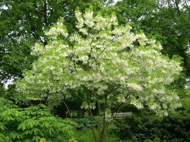 fring-675x506 Top 10 Summer-Blooming Trees for Your Garden