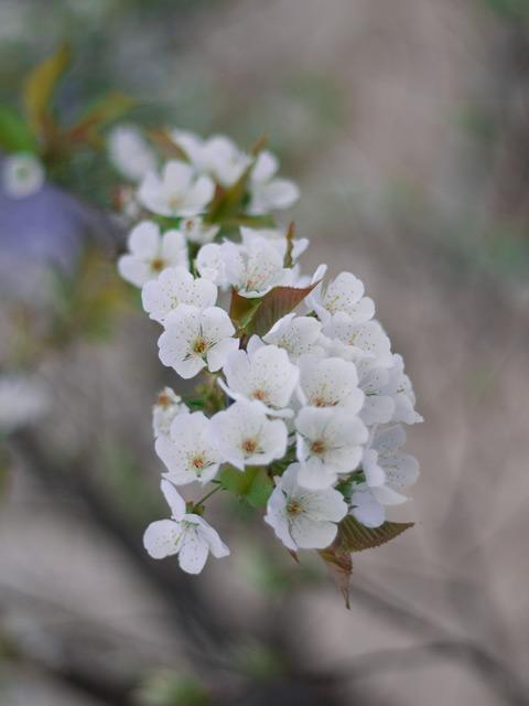 cherry-flower.jpg