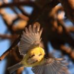 Tit bird flying 2