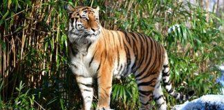 Tiger positive for coronavirus