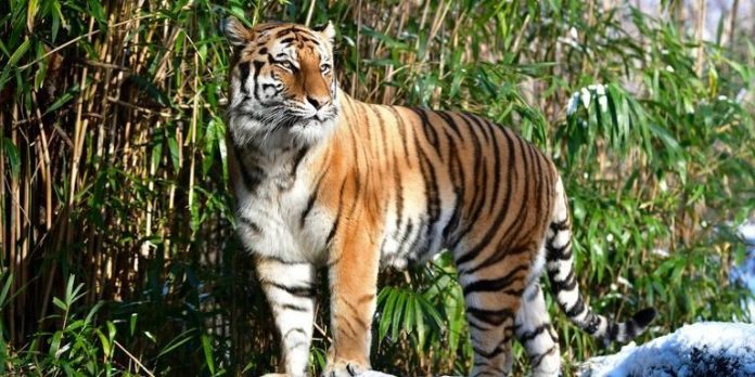 Tiger positive for coronavirus