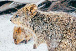 the-cute-quokkas-wonderful-selfie-loving-marsupials