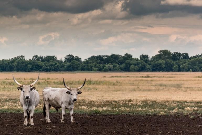 Typický dobytok chovaný na puste od nepamäti - maďarské šedé kravy