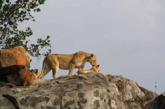 Lion king, Serengeti NP
