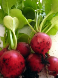 In Season Cooking with Radishes