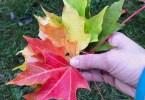 Fall Leaves rainbow in Portland