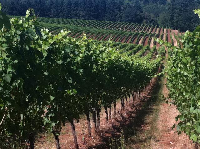 vines at Sokol Blossor