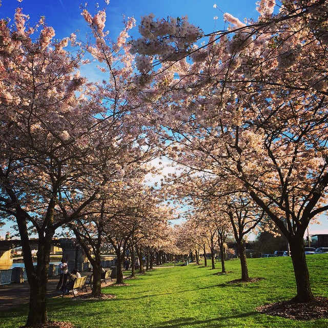 Portland cherry blossoms at Waterfront Park