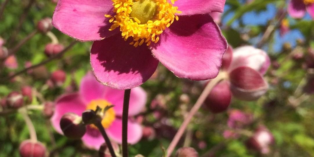 Rosenblüte aus dem Rosengarten in Zweibrücken