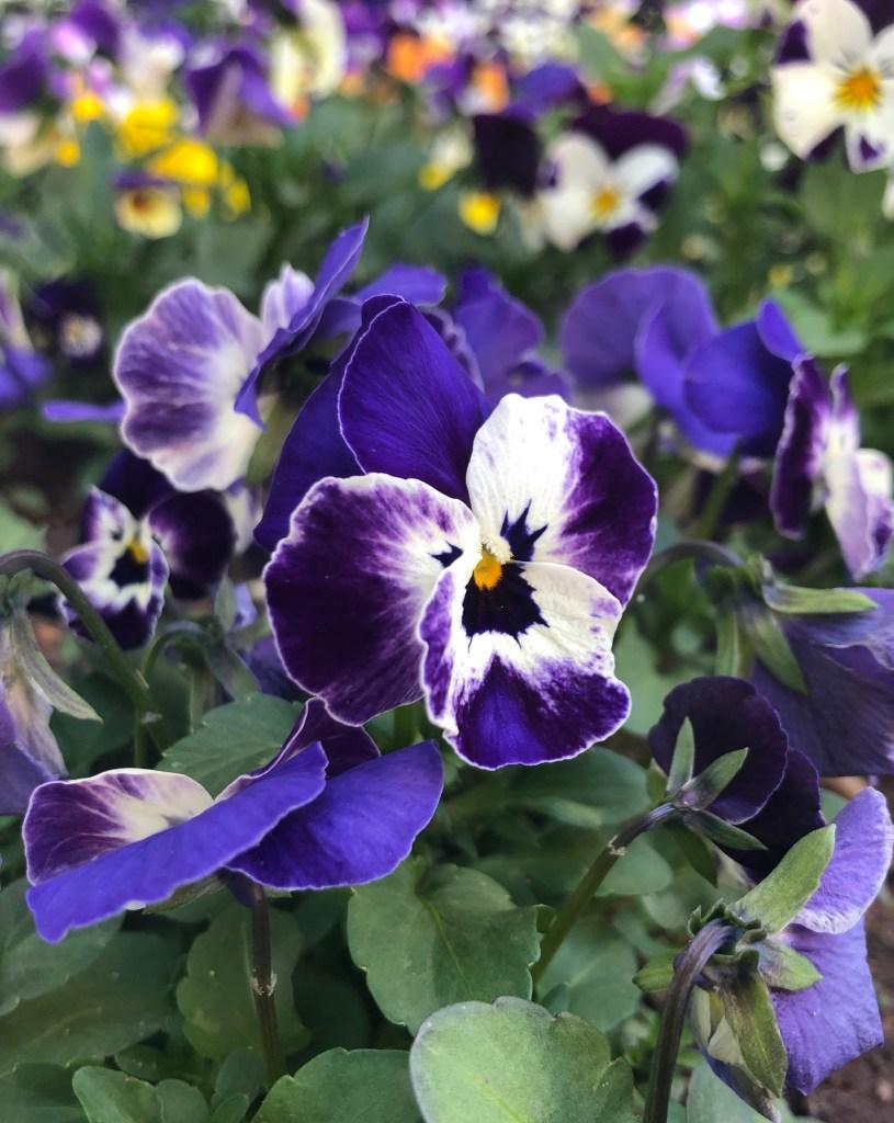 Lilafarbenes  Stiefmütterchen im Blumengarten