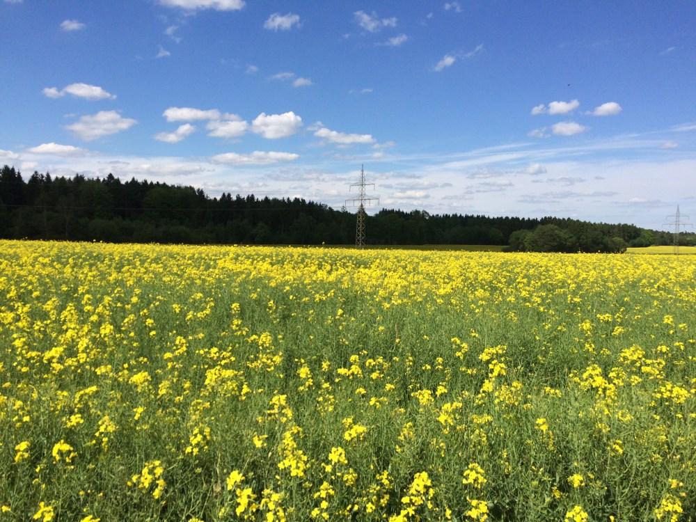 Strahlend gelbes Rapsfeld unter blauem Himmel ->Brassica Napus