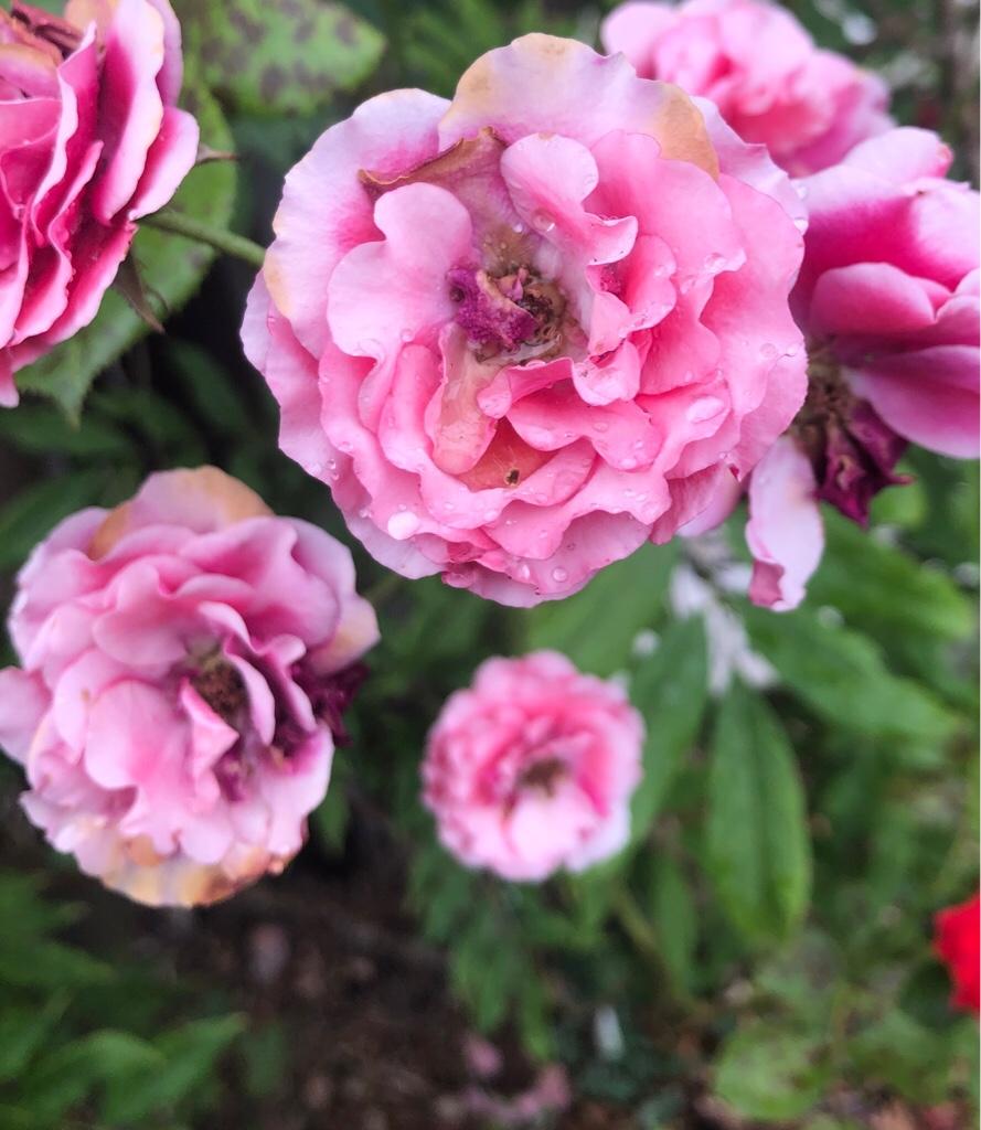 Rosafarbene Rosenblüten mit Wassertropfen