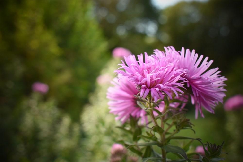 Pinkfarbene Astern aus dem Jardin des poetes