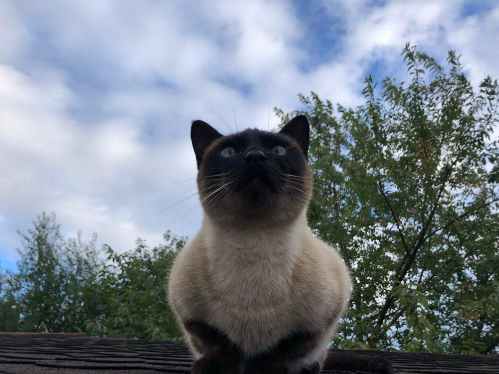 Auf einem Dach sitzende Siamkatze, die nach oben schaut