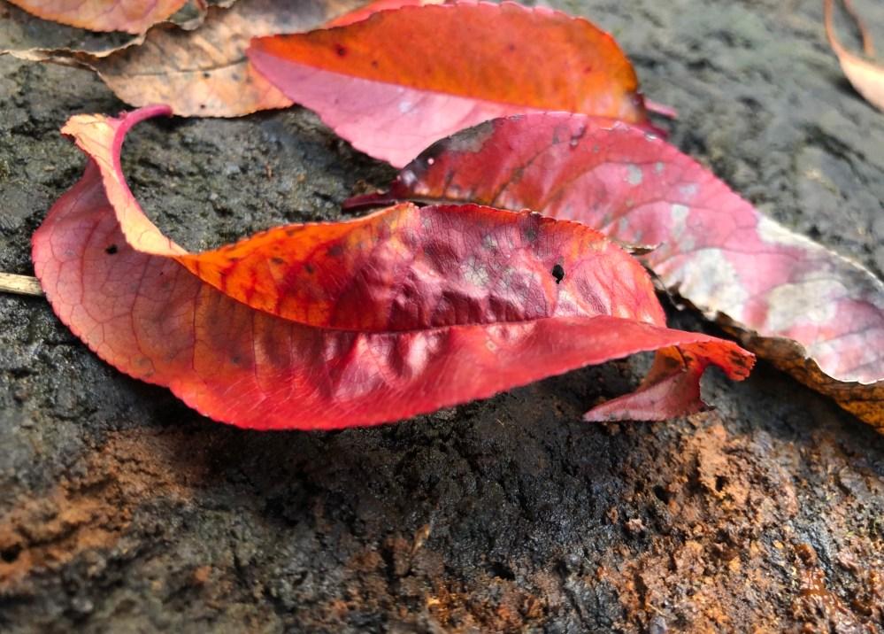 Knallig orange pinkfarbene Blätter