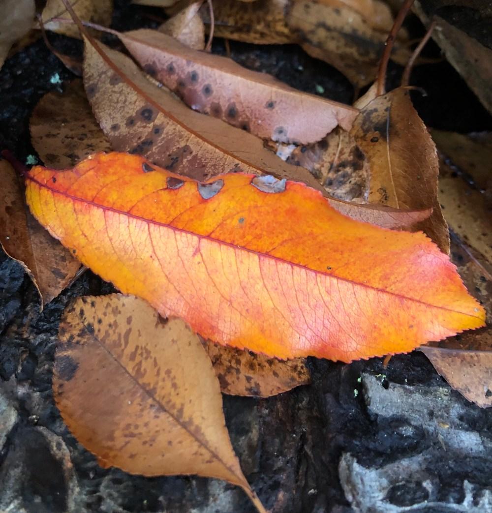 Orangegelb strahlendes Blatt zwischen braunen Blättern