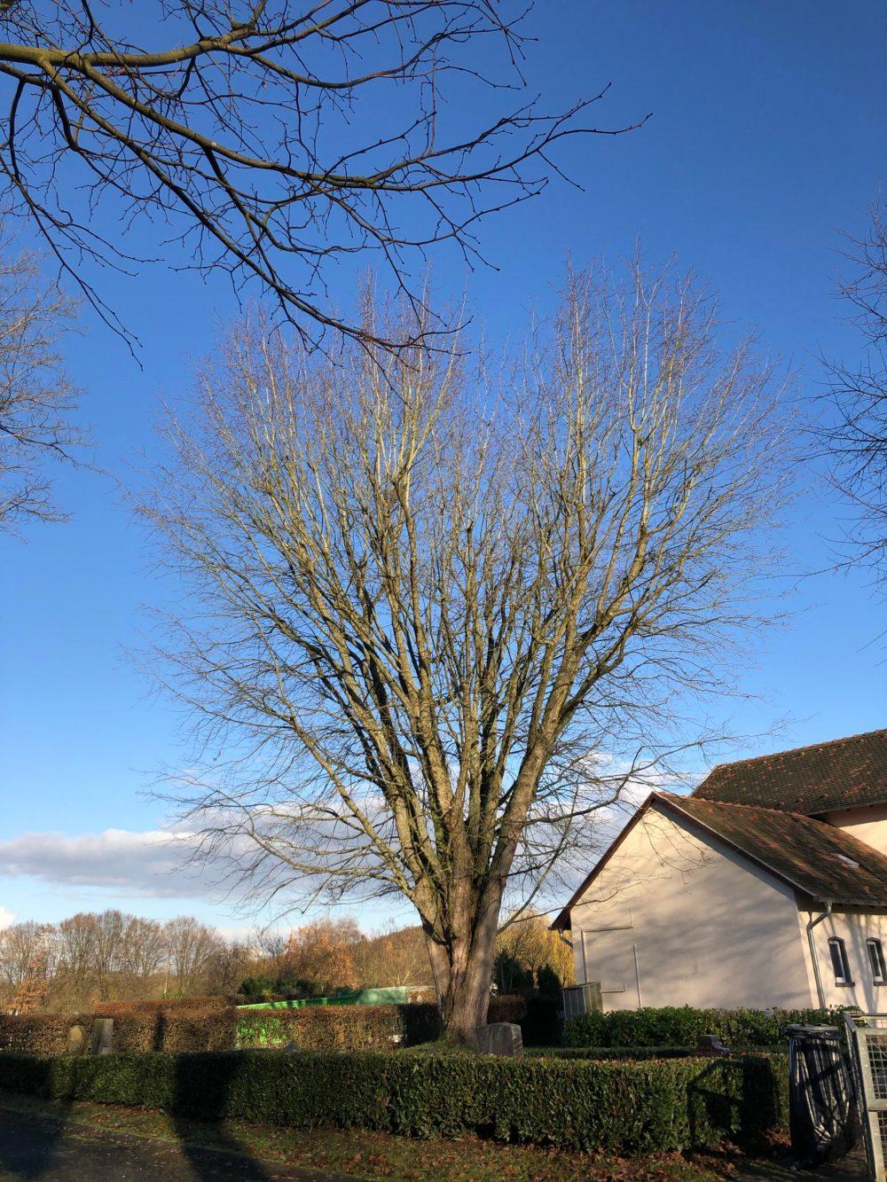 Ahorn Baum ohne Blätter in Form eines Herzes mit sehr vielen verzweigten Ästen vor blauem Himmel
