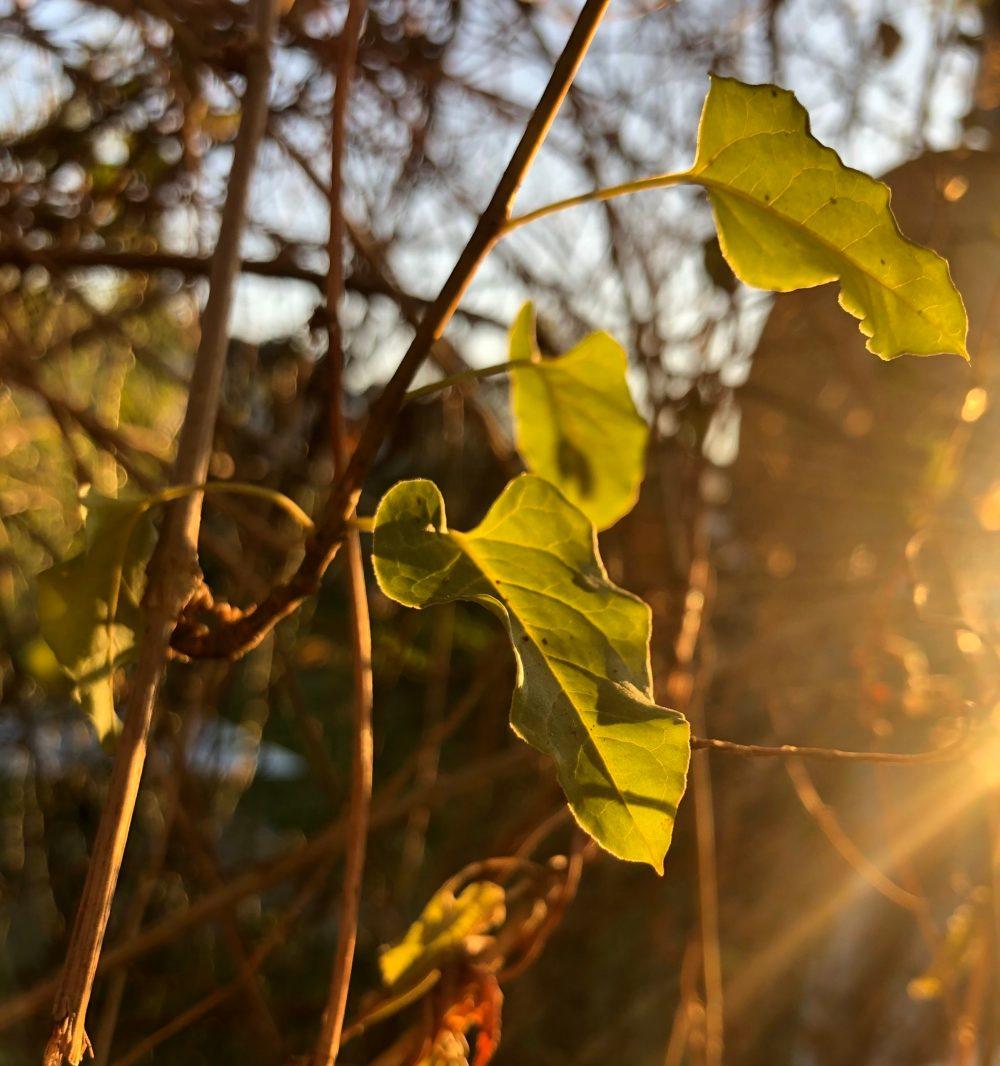 Kletterpflanzen im Gold der Sonne