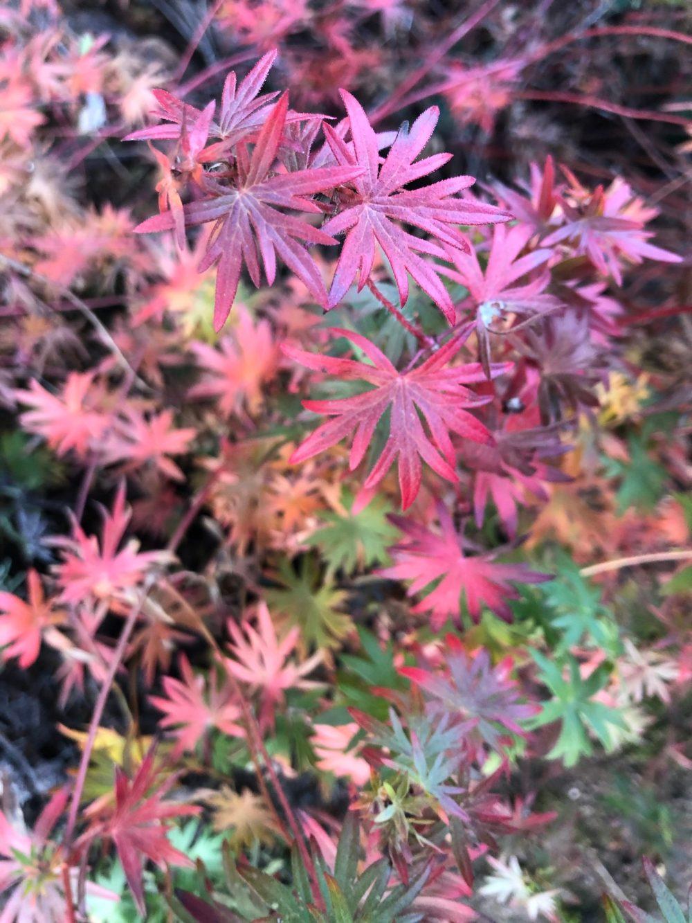 Viele Blätter des blutroten Storchschnabels in unterschiedlicher Reife