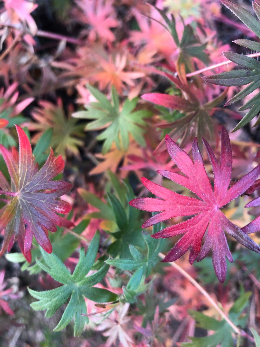 Pink und grüne Blätter der Blutröschen