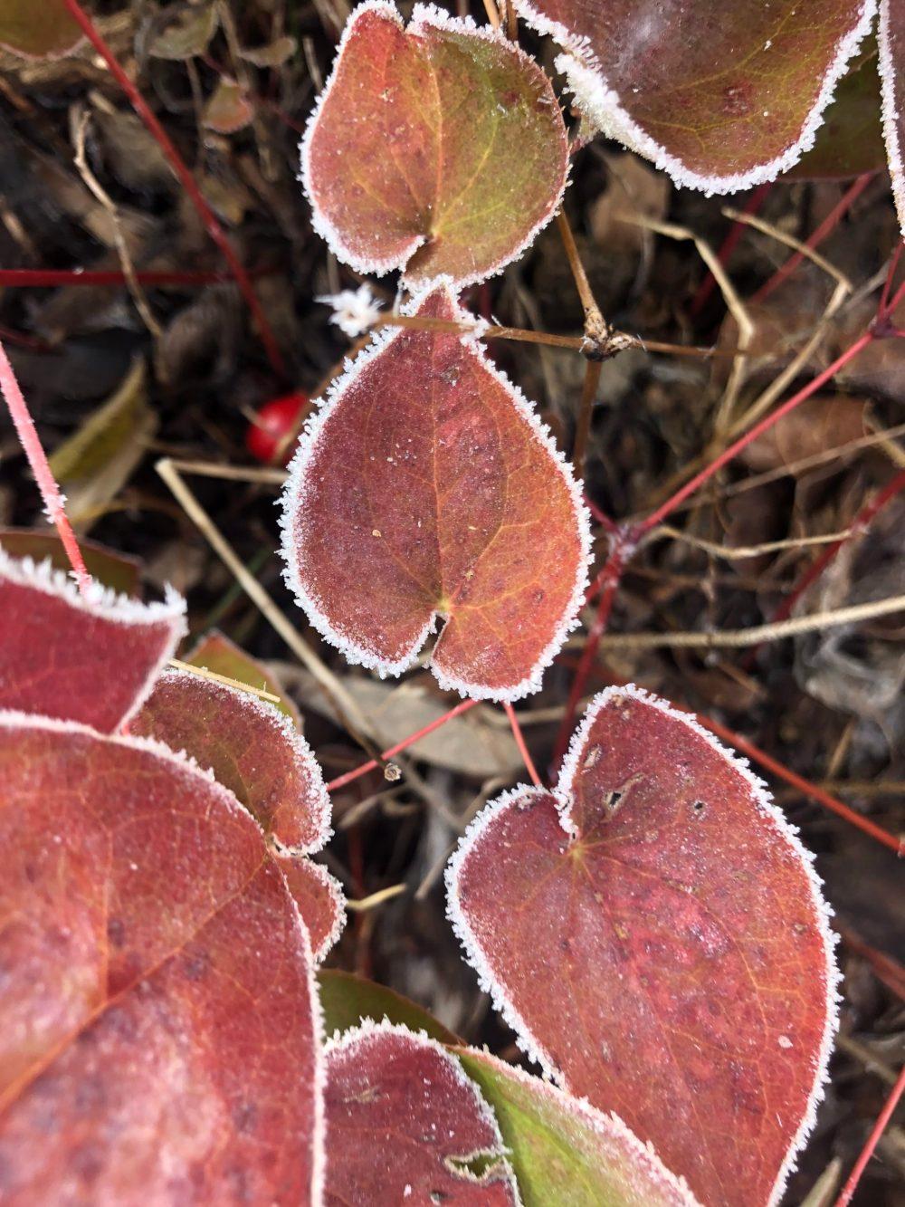 Rote Herzförmige Blätter mit Eisrahmen