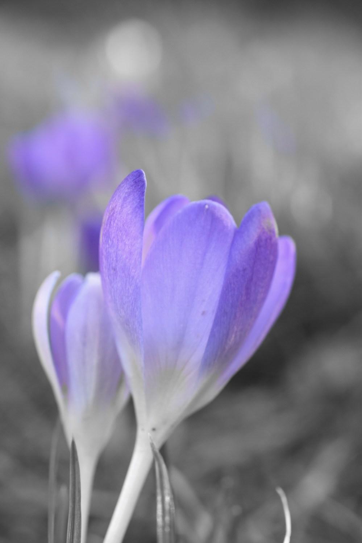 Liliane Blüten der Krokusse mit grauem Hintergrund