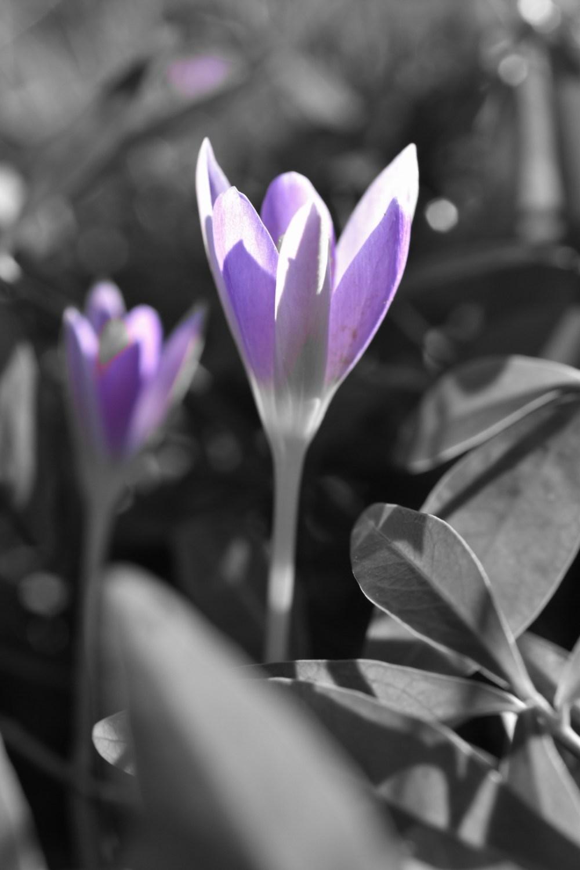 Schwarz weiß Bild mit lilafarbenen Krokussen