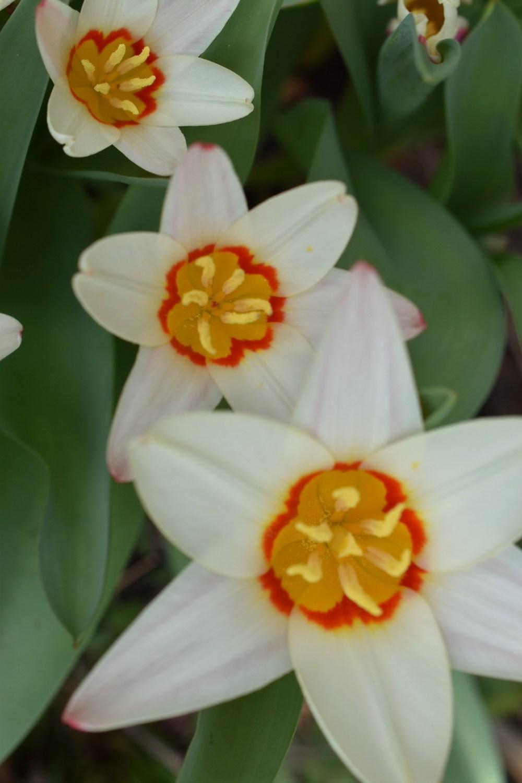 Drei weiße Tulpen